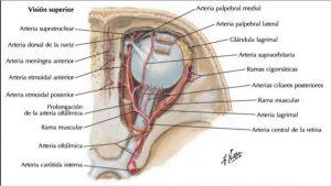 arteria-oftalmica